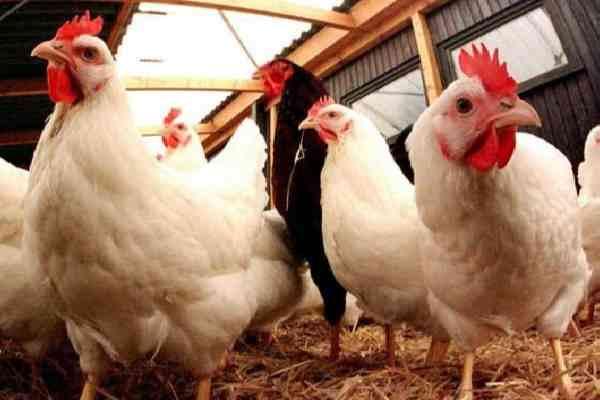 Cara membudidayakan ayam potong